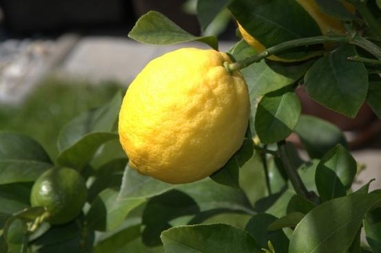 lemon citrus fruit fruit