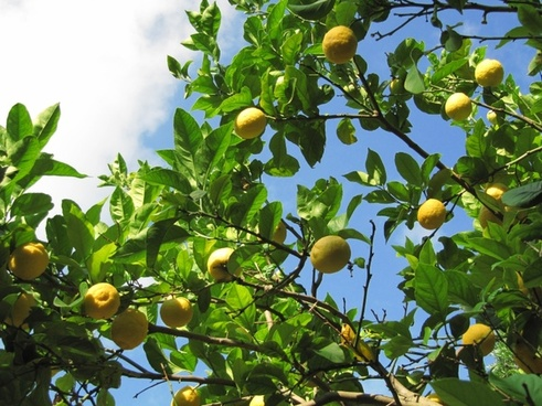 lemons fruit citrus