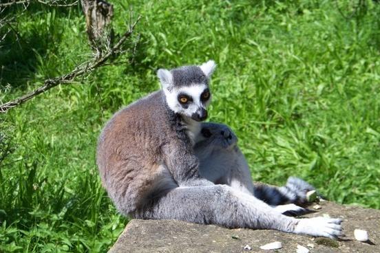 lemur animal wild life