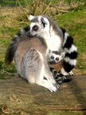 lemurs ring-tailed animals