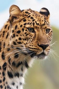 leopard039s head