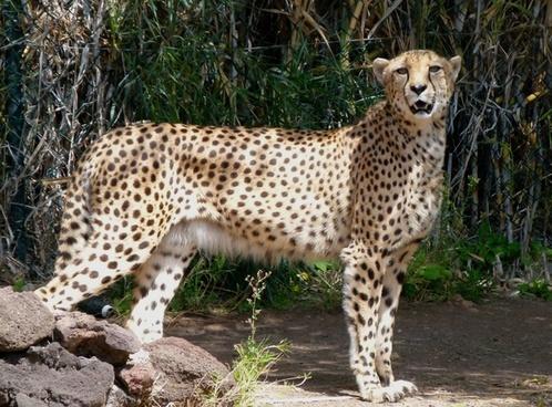 leopard animal feline