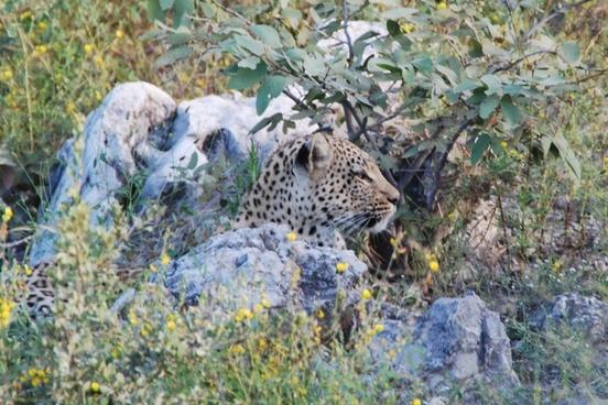 leopard concerns animal