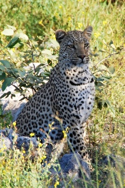 leopard sit animal