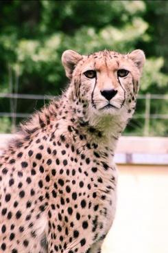 leopard zoo pets