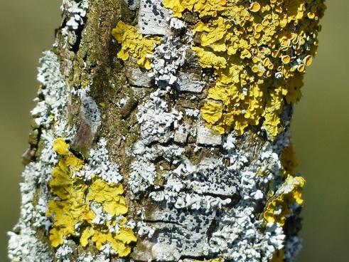 lichen grey laubflechte ordinary gelbflechte