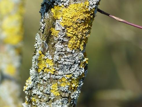 lichen ordinary gelbflechte road