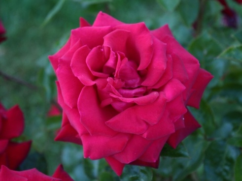light red rose bloom