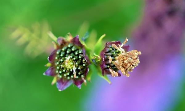lila flower garden