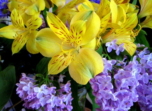 lilac039s and peruvian lilies