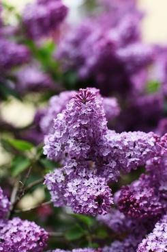 lilac spring may