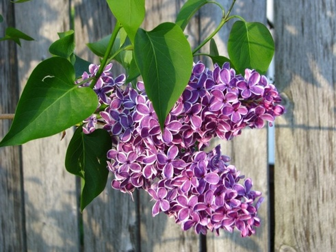 lilacs flowers rustic
