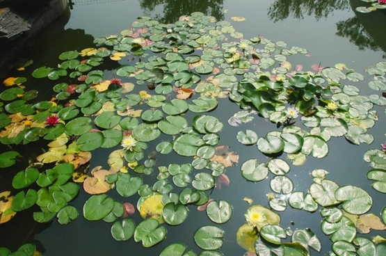 lilies and lilypads