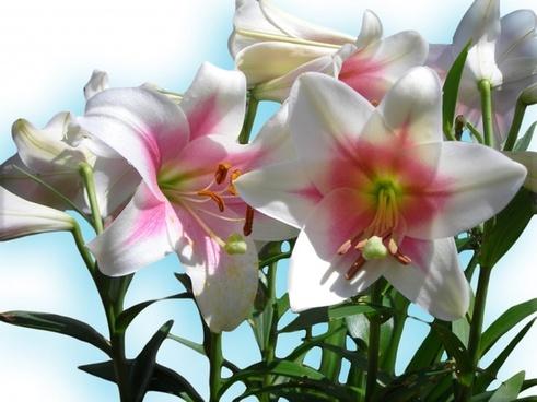 lilies blue sky blue