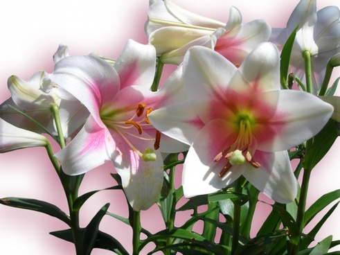 lilies flowers pink