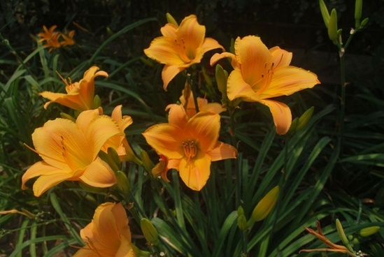 lillies in the sun