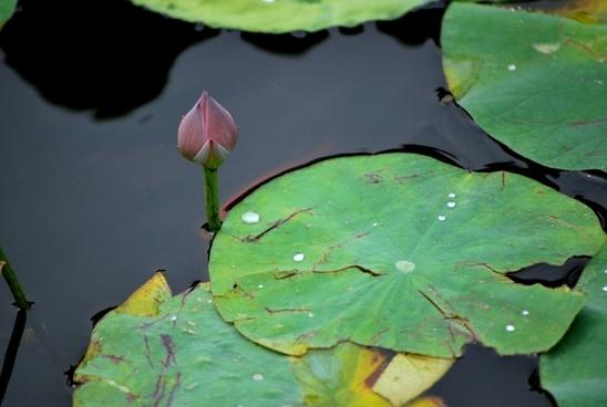 lily pad