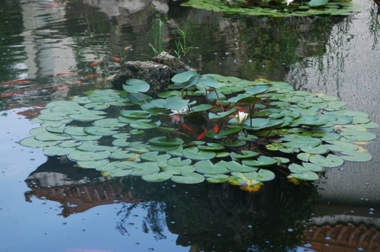 lily pads and goldfish