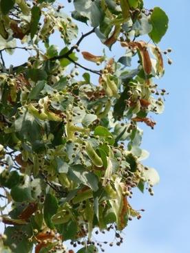 linden fruits linde pods