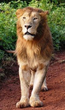 lion big cat cat of prey