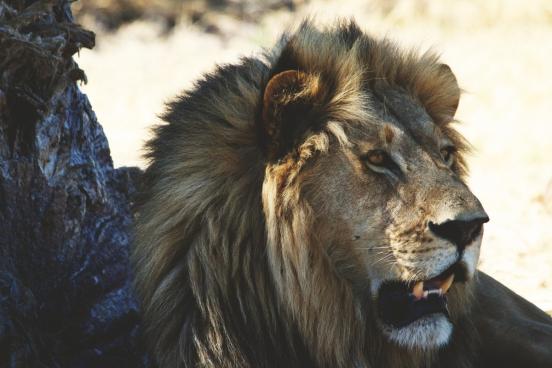 lion closeup