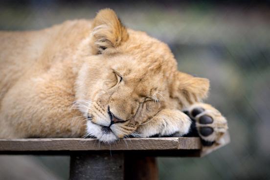 lion cub sleepy