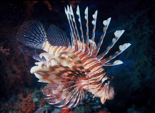 lion fish water