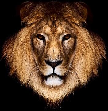 lion head picture