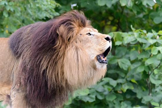 lion roaring profile