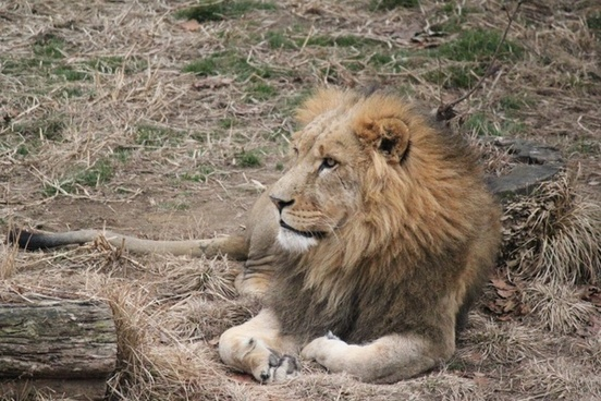 lion zoo resting