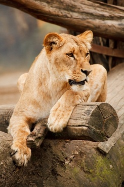 Lion And Lioness Image Download For Free Free Stock Photos Download