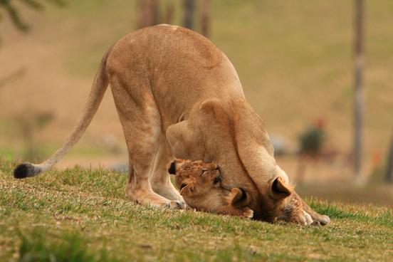 lions amp lion cubs