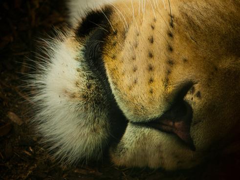 lions nose
