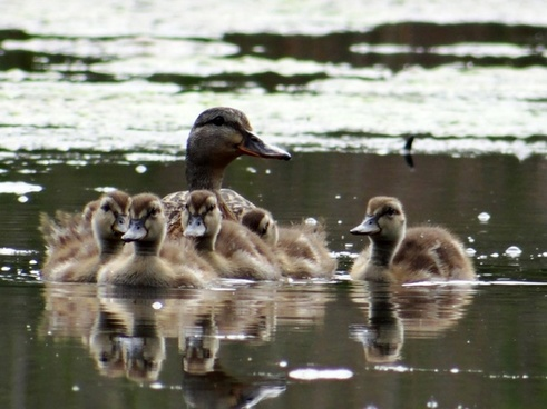 little ducklings and mommy