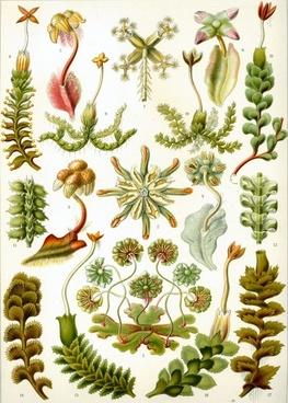 liverworts moss brunnenlebermoos