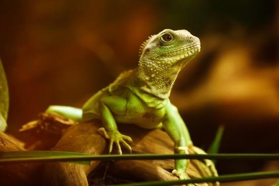 lizard dragon reptile