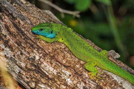 lizard green lizard reptile