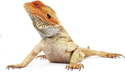 lizard picture 1