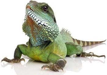 lizard picture 2