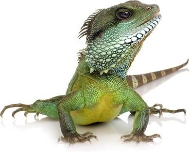 lizard picture 3