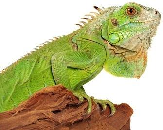 lizard picture 4