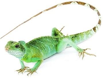 lizard picture 5