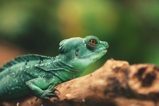 lizard reptile