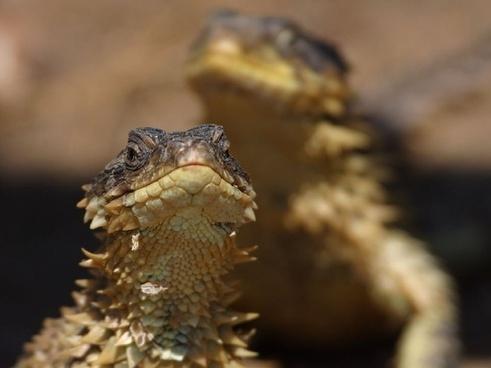lizard reptile iguana