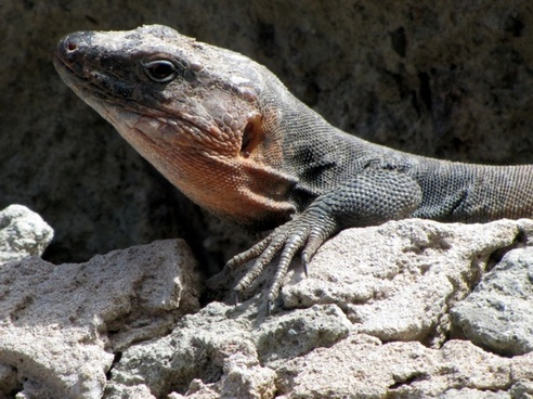 lizard rock reptile