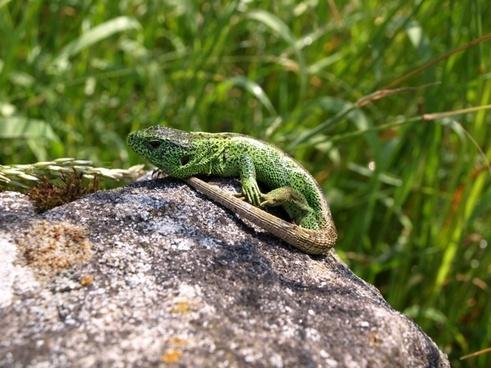 lizard sand lizard reptile