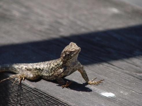 lizard sun reptile