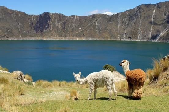 llamas quilotoa ecuador