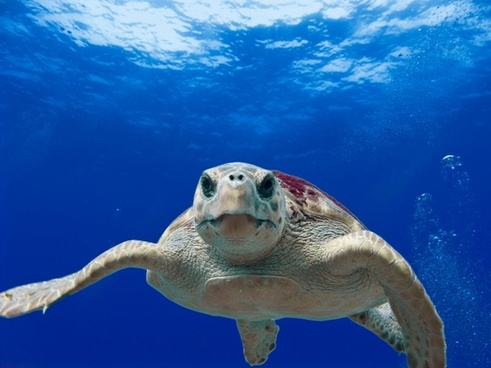 loggerhead turtle sea ocean
