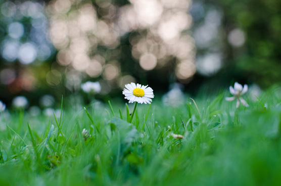 lonely daisy